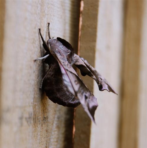 poplar-hawk-moth-2