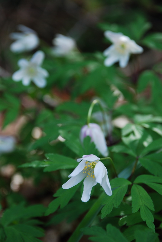 wood-anemone