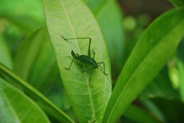 + Big cricket