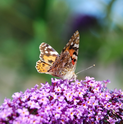 Painted Lady - T+L's garden