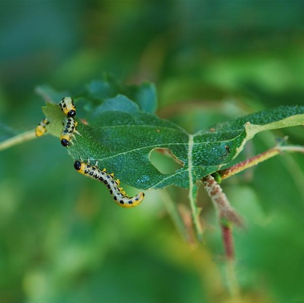 + Sawfly larvae